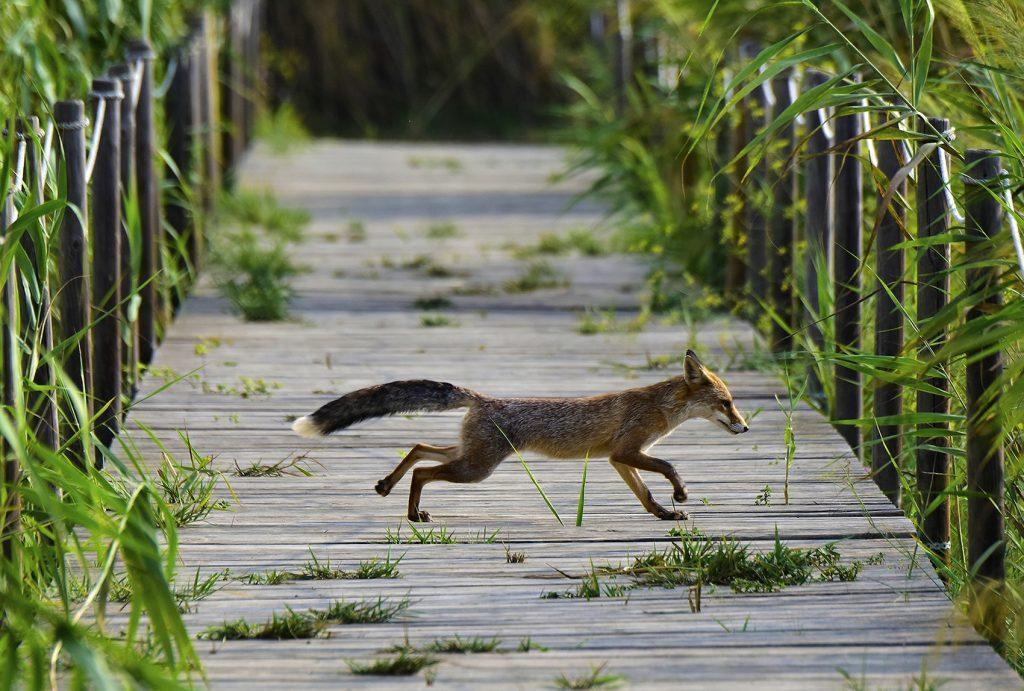 Accèssit. Titol: El muy zorro... Autor: Victor Cañadas